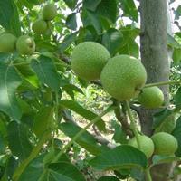 核桃树有哪些品种·哪个品种核桃树好?核桃树产地品种介绍