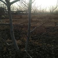 核桃树品种介绍·核桃树产地新品种·山西核桃树产地品种