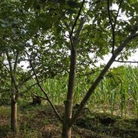 山西8公分核桃树价格·运城8公分核桃树报价·图片·详情
