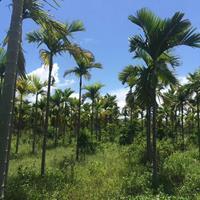 福建假槟榔批发 多种规格齐全大量供应