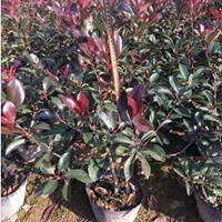 浙江金华红叶石楠大桶苗基地可以当作红叶石楠球60冠幅价格表