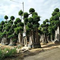 批发福建精品各种规格小叶榕,小叶榕造型榕树,农户价格物美价廉