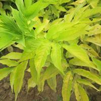 河北定州金叶接骨木扦插小苗价格 每棵0.8元