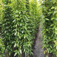 2-3米油麻藤价格 高速公路护坡攀爬植物