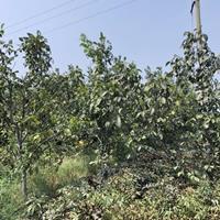 工程绿化10公分核桃树·工程绿化核桃树10公分价格100元棵