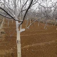工程绿化10公分核桃树=占地8公分核桃树=10公分核桃树价格