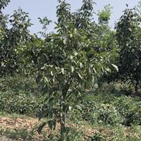 处理果园核桃树·粗度10-12公分核桃树处理·产地山西运城