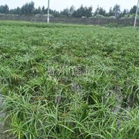 供应旱伞草,水竹, 水生植物挺水植物