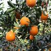 九月红脐橙苗早红脐橙苗早熟脐橙苗果冻橙苗出售