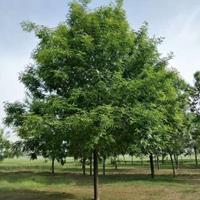 白蜡树价格_速生白蜡树苗价格