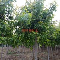 低价出售红叶复叶槭5到10公分