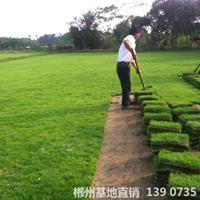 可供恩施城市綠地綠化馬尼拉真草皮采購價格