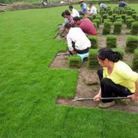 可供黃石保持水土綠化馬尼拉草坪送貨上門