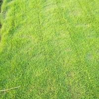 可供仙桃城市綠地綠化馬尼拉真草皮價格多少錢一平方