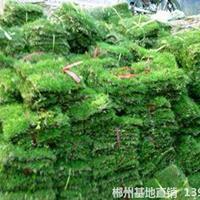 可供恩施市政園林綠化馬尼拉草皮采購價格