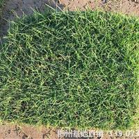 可供株洲河道邊坡草地綠化馬尼拉草坪種植流程及注意事項