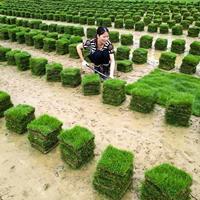 可供貴州公路綠化帶馬尼拉草皮報價
