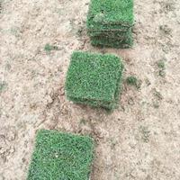 可供麗江校園風景區綠化馬尼拉真草皮多少錢一方