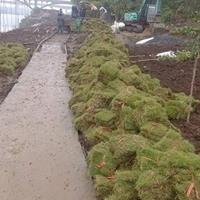可供佛山高速公路邊坡綠化馬尼拉草坪種植基地供應