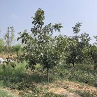 哪有核桃树·核桃树10公分价格多少?10公核桃树产地报价详情