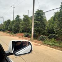大量供应红豆杉