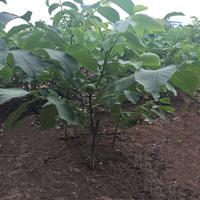 直径10公分核桃树价钱·直径10公分核桃树报价·占地核桃树图