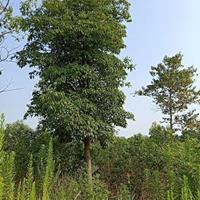 江西木荷,12公分,15公分价格图片