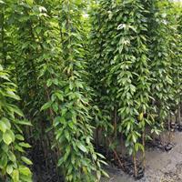 怡璟园林长期供应高2米油麻藤价格等攀爬植物