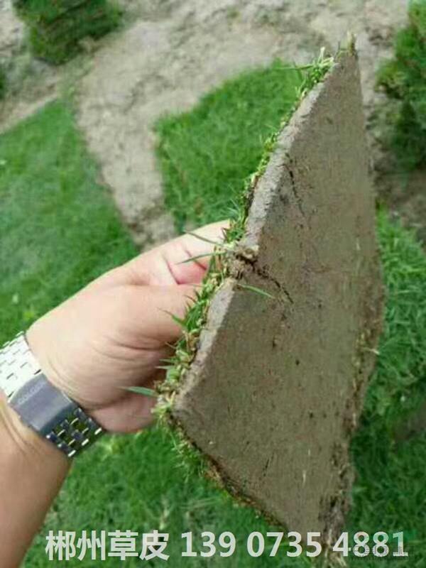 可供岑溪校园风景区绿化马尼拉草皮种类有几种图片