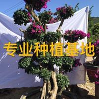 福建三角梅批发 勒杜鹃价格 红花紫花三角梅球 造型多色三角梅