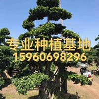 福建精品小叶榕价格批发 造型小叶榕桩头桩景造型榕树细叶榕