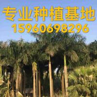 大王椰子批发 大王椰子报价 大王椰子树价格 基地直精品椰子树