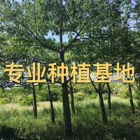 福建美丽异木棉批发 美人树价格 木棉树报价 移植木棉树