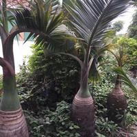 酒瓶椰子批发 酒瓶椰子快乐赛车开奖 酒瓶椰子批发 精品酒瓶椰子树