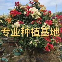 造型三角梅批发 红花紫花多色三角梅价格 三角梅盆景三角梅小苗