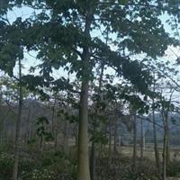 美人树低价供应规格齐全 永盛园艺直销