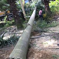 大王椰子各种规格 价格优惠 种类齐全 永盛园艺直销