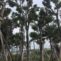 大骨架秋枫低价供应 种类齐全 永盛园艺直销