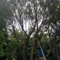 精品朴树规格齐全 低价供应 永盛园艺直销