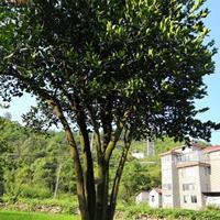 丛生胡柚树移栽苗5m×5m