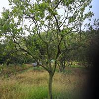 独杆胡柚树移栽苗3.5m×3.5m