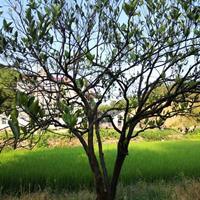 精品多杆胡柚树