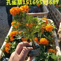 孔雀草批发 多种颜色任你选择【三江花卉】