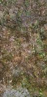 百子莲种子及种苗