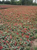 江苏沭阳地区大量供应月季(红帽,黄帽)