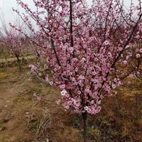 江苏供应2一15公分榆叶梅,美人梅,红梅,