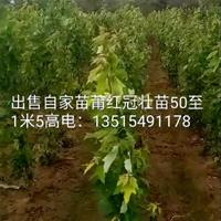 大量供应美国红冠红枫