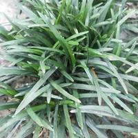 玉龙草,日本麦冬 矮麦冬