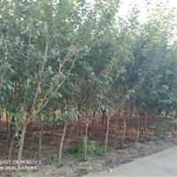 各種規格品種櫻花樹價美