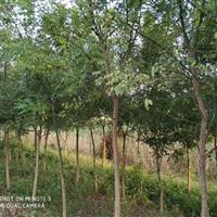 国槐树各种规格